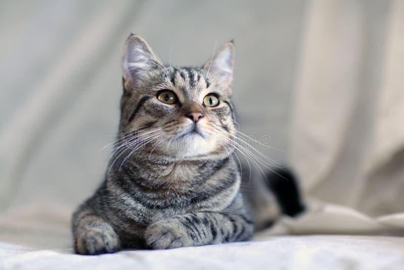 在沙发的滑稽的灰色猫 免版税库存图片
