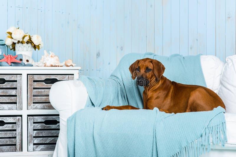 在沙发的Rhodesian Ridgeback小狗在海洋样式内部 库存图片