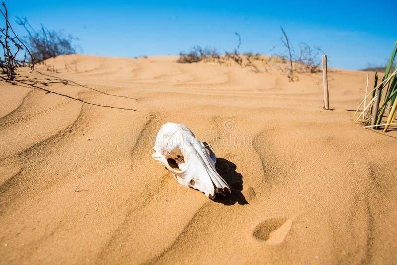 在沙子关闭的绵羊头骨 库存照片