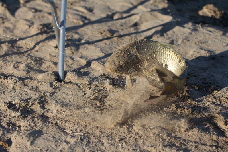 在沙子捉住的鲤鱼 免版税库存图片