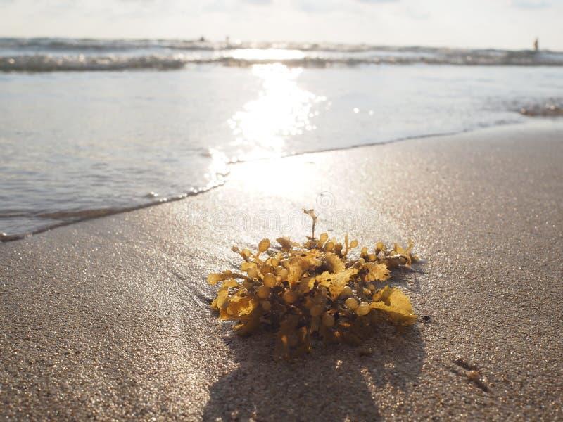 在沙子海滩的海草与日落光 免版税库存照片