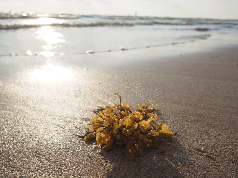 在沙子海滩的海草与日落光 库存照片