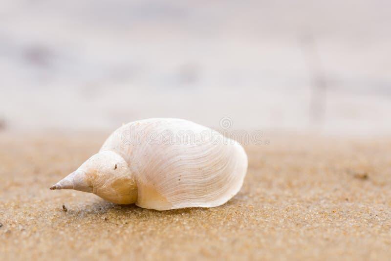 在沙子海滩的单独白色壳 特写镜头 免版税库存图片