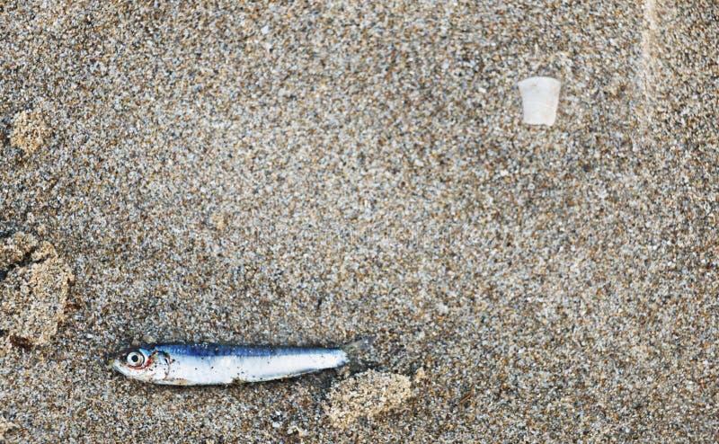 在沙子的一条鲥鱼 库存照片
