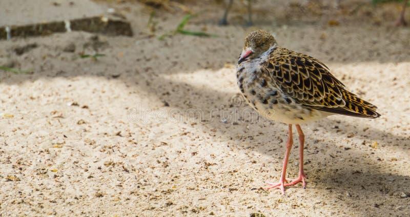 在沙子的共同的红色小腿身分在特写镜头,从欧亚大陆的矶鹞,沿海涉水鸟 图库摄影