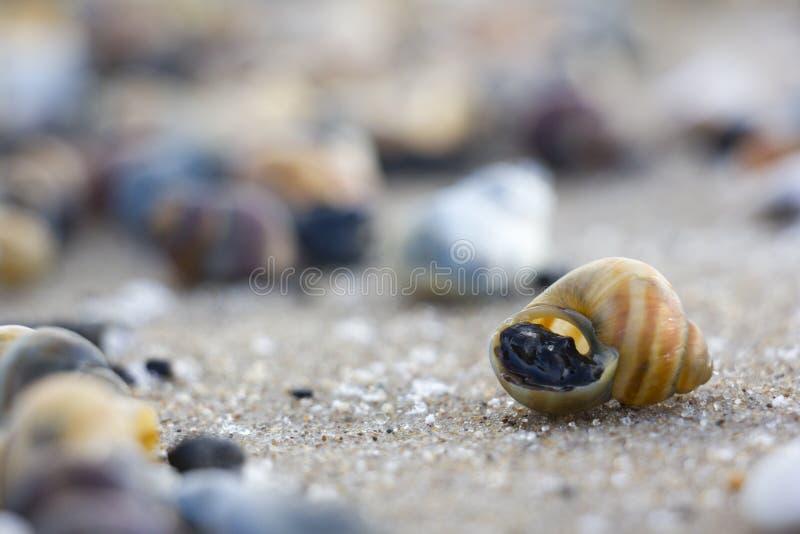 Download 在沙子的小壳 库存照片. 图片 包括有 火箭筒, 谷物, 海运, 生活, 宏指令, 贝类, 海洋, 沙子 - 62531618