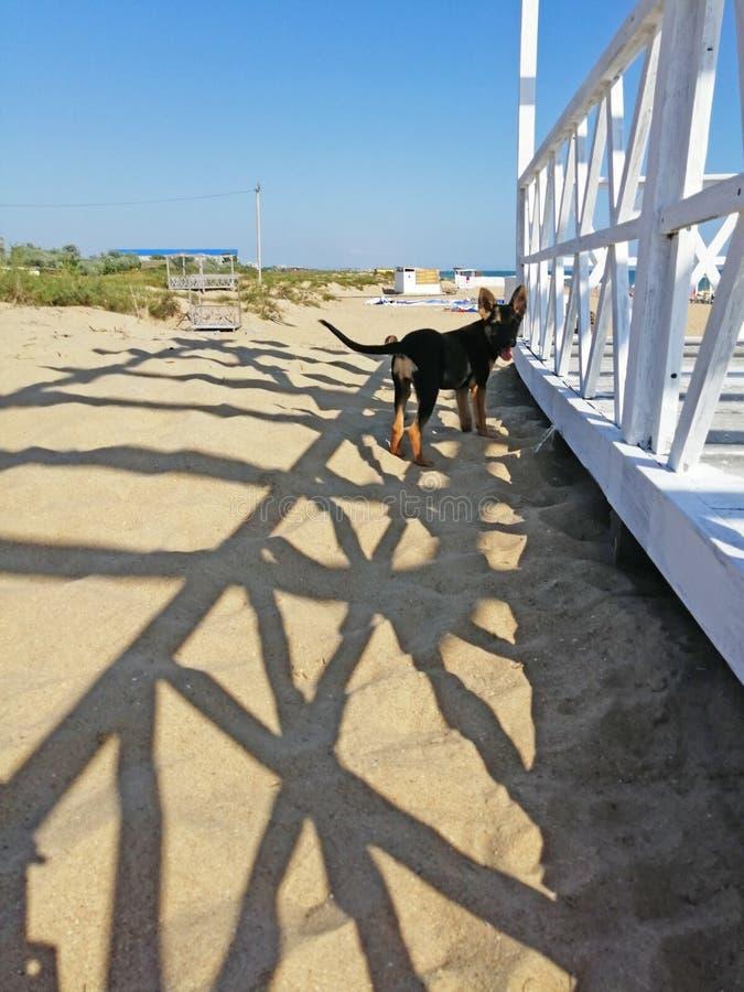 在沙子的小犬座 免版税库存照片