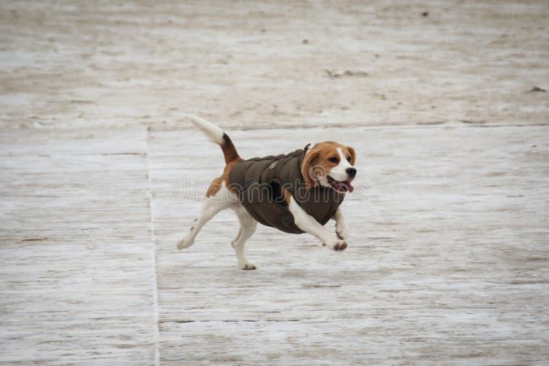 在沙子的小猎犬狗 免版税库存图片