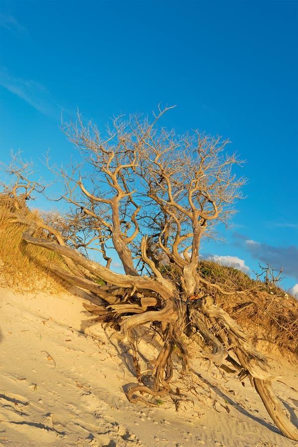 在沙子的干燥树 免版税库存照片