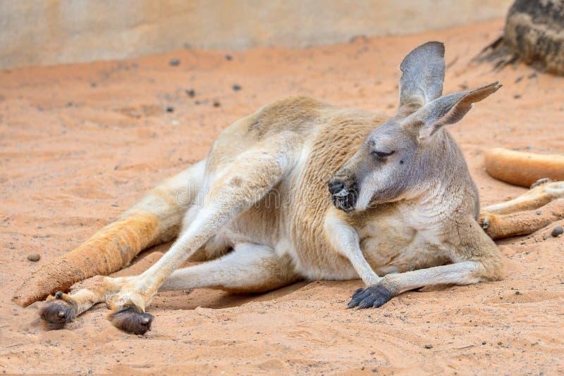 在沙子的懒惰袋鼠 库存照片