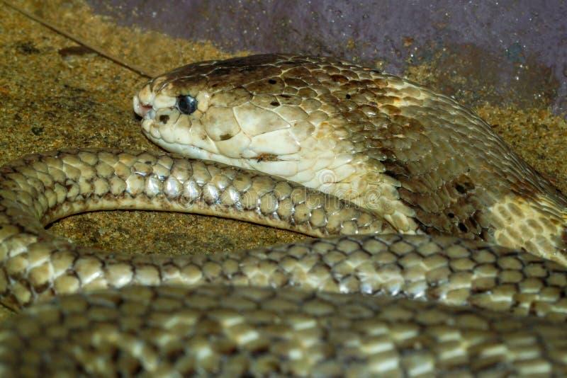 在沙子的接近的眼镜蛇在泰国 免版税库存照片