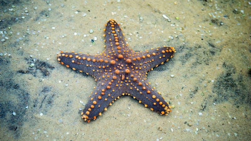 在沙子的星鱼 免版税库存照片