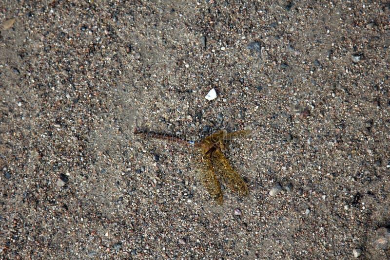 在沙子的死的蜻蜓 库存照片