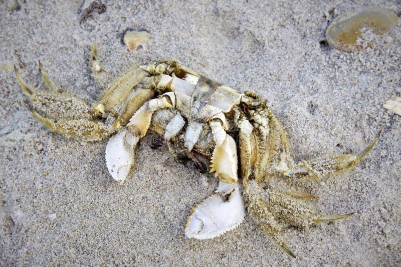 在沙子的死的螃蟹 库存照片