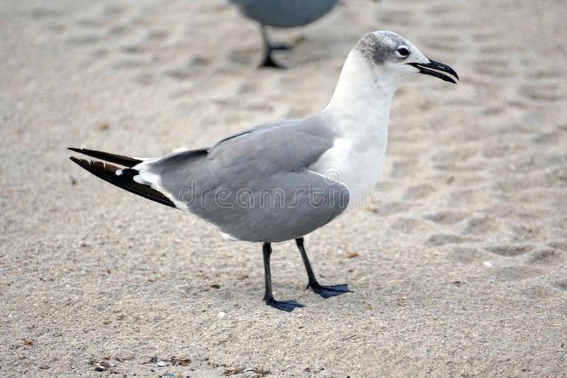 在沙子的海鸥在Dania海滩 库存图片