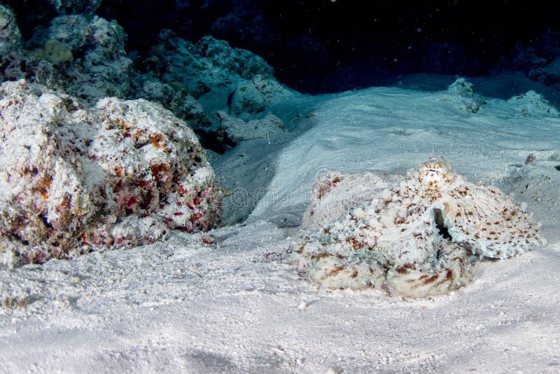 在沙子的章鱼水下的画象狩猎 库存图片
