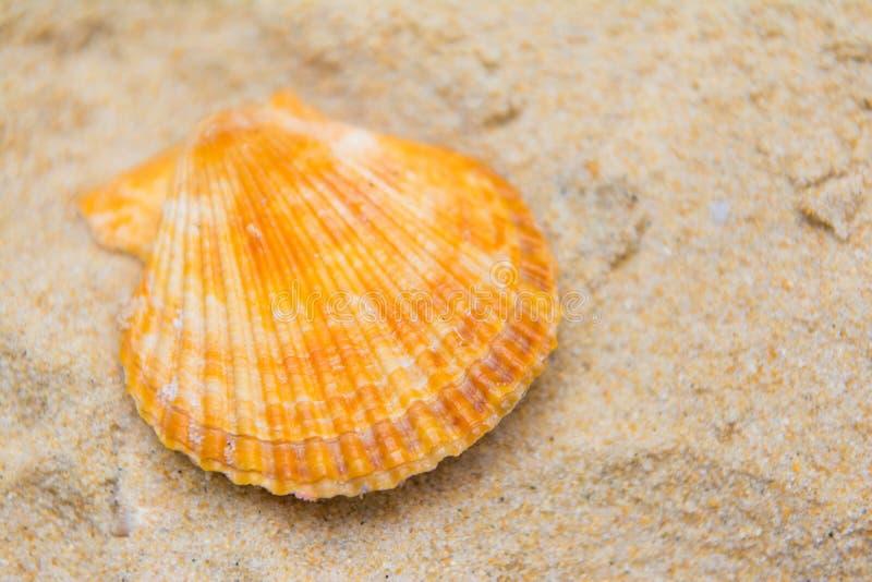 在沙子的美好的扇贝壳 库存照片