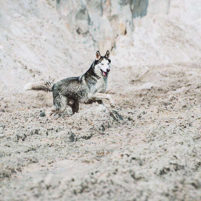 在沙子的美好的狗品种西伯利亚爱斯基摩人奔跑在海滩 免版税库存图片