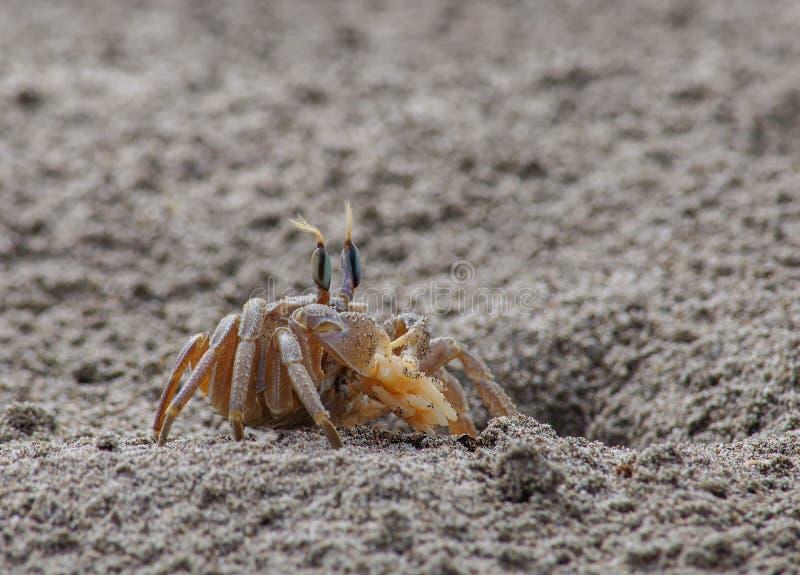 Download 在沙子的螃蟹 库存照片. 图片 包括有 海岛, 火箭筒, 甲壳动物, 重婚, 海洋, 旅行, 横向, 空白 - 72361432