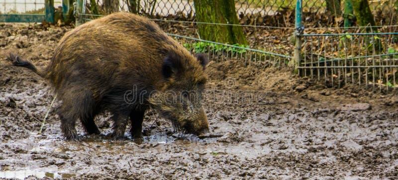 在沙子的野公猪身分和小便,通过世界广泛延长动物 图库摄影