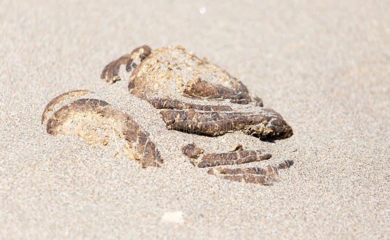 在沙子的马粪便 库存图片