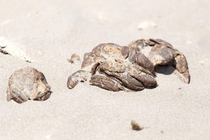 在沙子的马粪便 库存照片