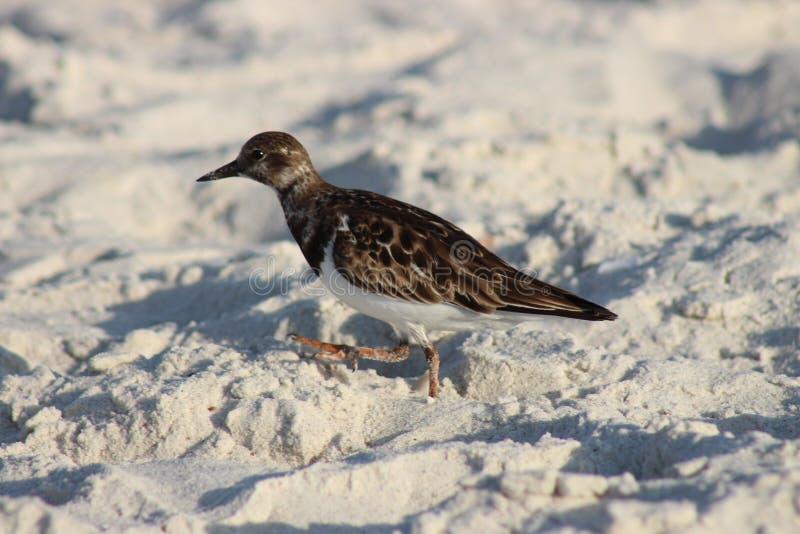 在沙子的鸟在海滩 图库摄影