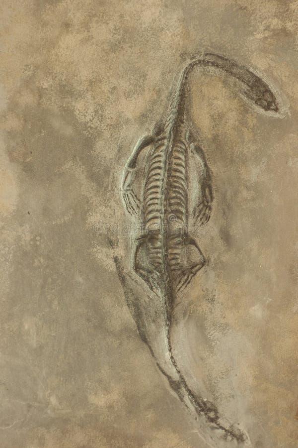 在沙子石头背景的恐龙化石 库存照片
