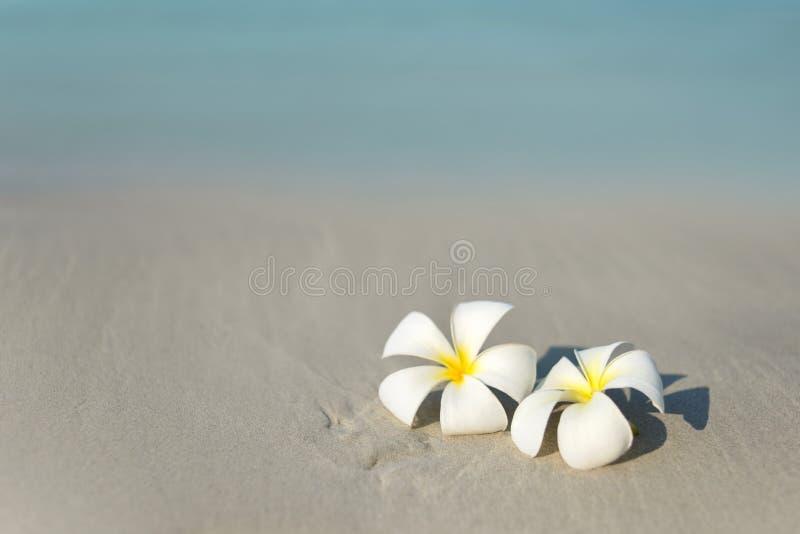 在沙滩的白色和桃红色羽毛赤素馨花花在沿海前面 库存照片