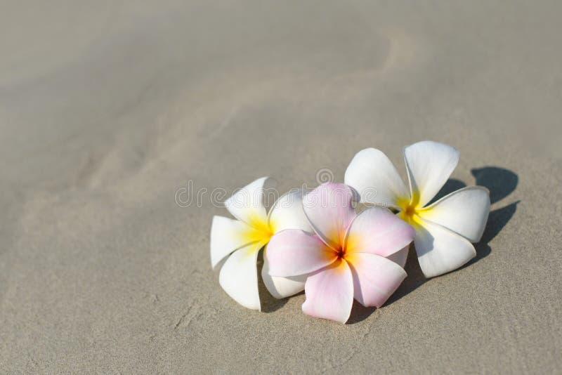 在沙滩的白色和桃红色羽毛赤素馨花花在沿海前面 免版税库存图片