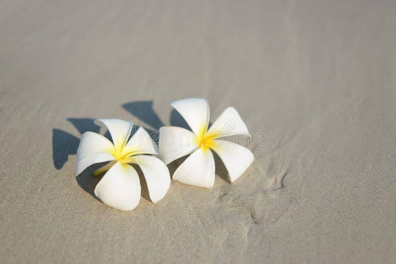 在沙滩的白色和桃红色羽毛赤素馨花花在沿海前面 免版税库存照片