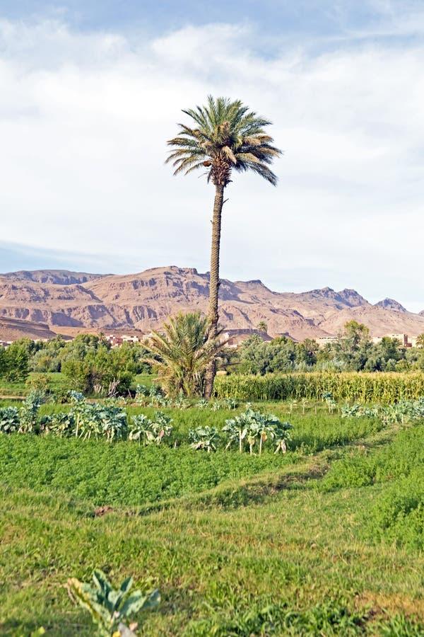 绿洲在沙漠在摩洛哥 库存照片