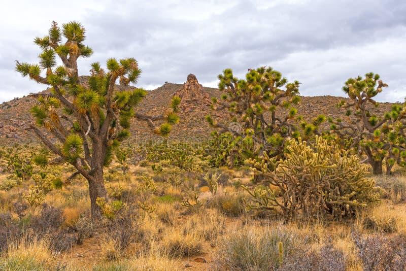 在沙漠岩石前面的干地带植被 免版税图库摄影