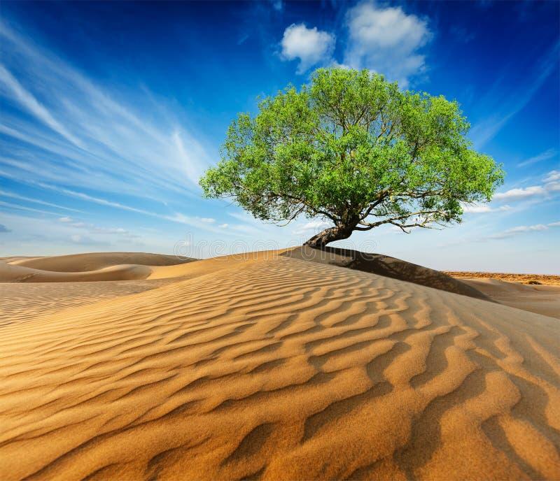 在沙漠沙丘的偏僻的绿色树 库存照片