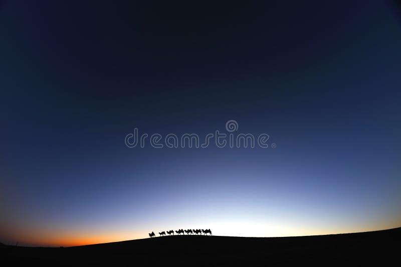 在沙漠黎明的骆驼有蓬卡车 库存照片