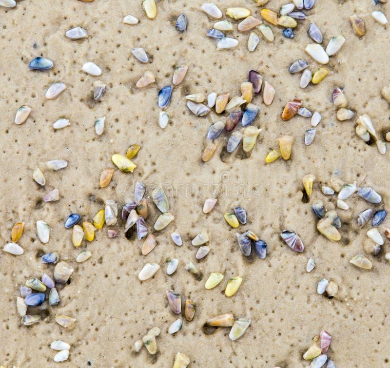 在沙滩的美好的壳 库存图片
