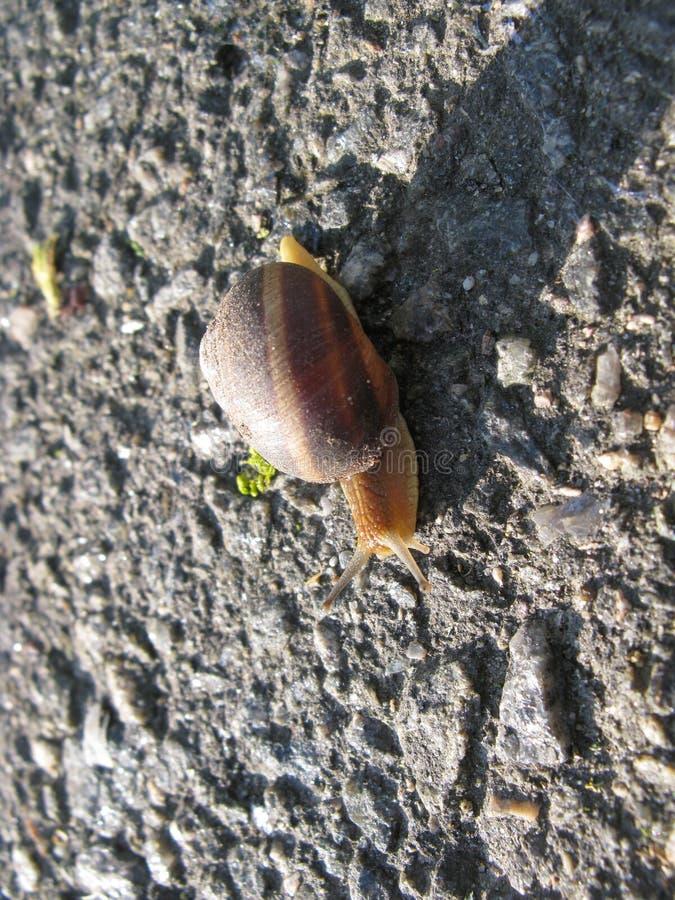 在沥青的蜗牛 免版税库存图片