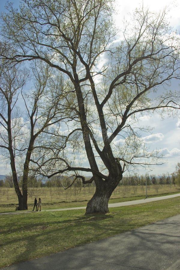 在沥青路线旁边的一棵大树 库存图片