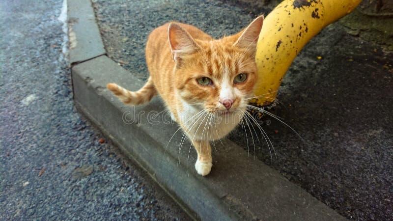 在沥青路面的无家可归的红色猫 图库摄影
