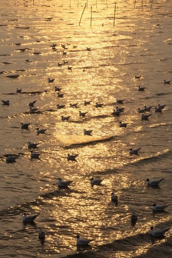 在河三角洲的美丽如画的美好的金黄日落,充满泰国海鸥游泳群  免版税库存图片