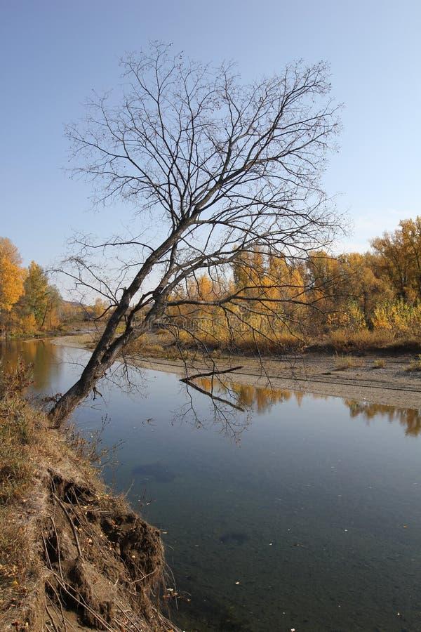 在河上的死的树 图库摄影
