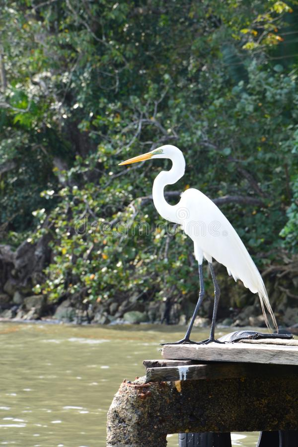 在河危地马拉附近的庄严苍鹭 免版税库存照片