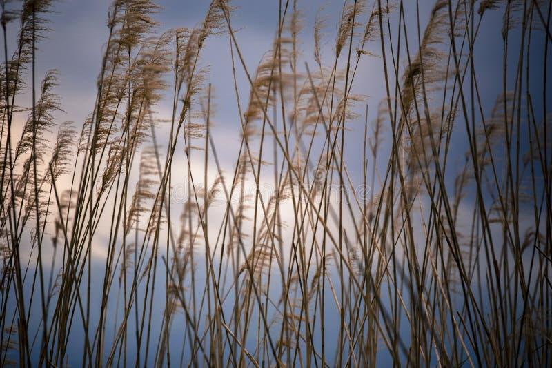 在河口湖旁边的美丽的棕色高植物在富士山日本附近 图库摄影