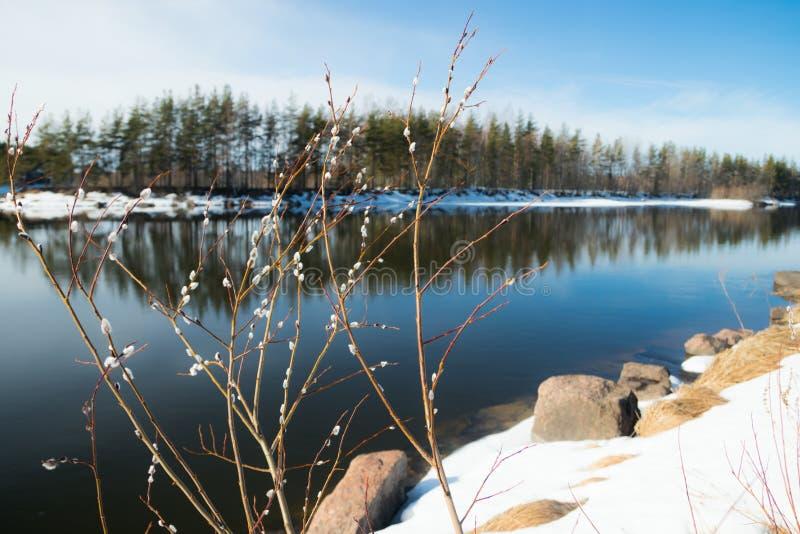 在河屈米河和褪色柳分支,科沃拉,芬兰的春天风景 免版税库存照片