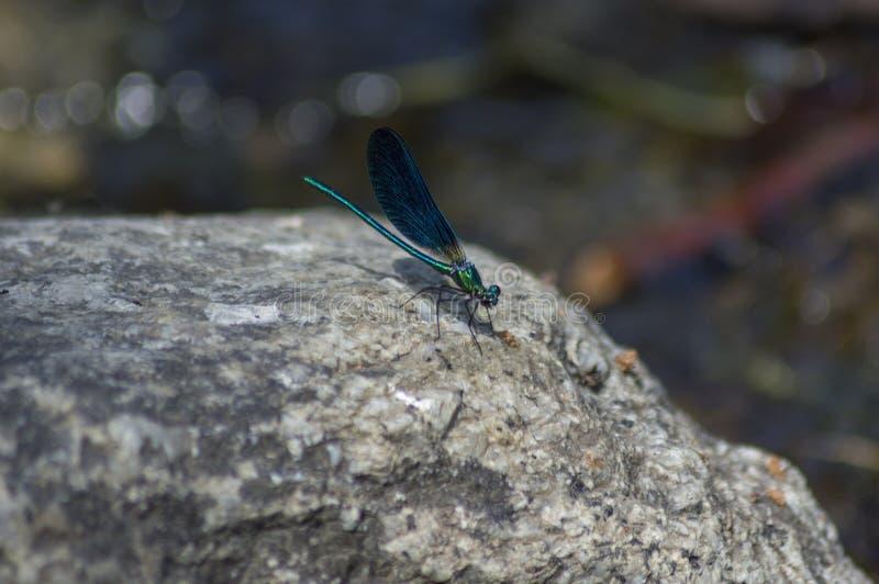 在河岩石的美丽的ccolorful萤火虫 免版税库存图片