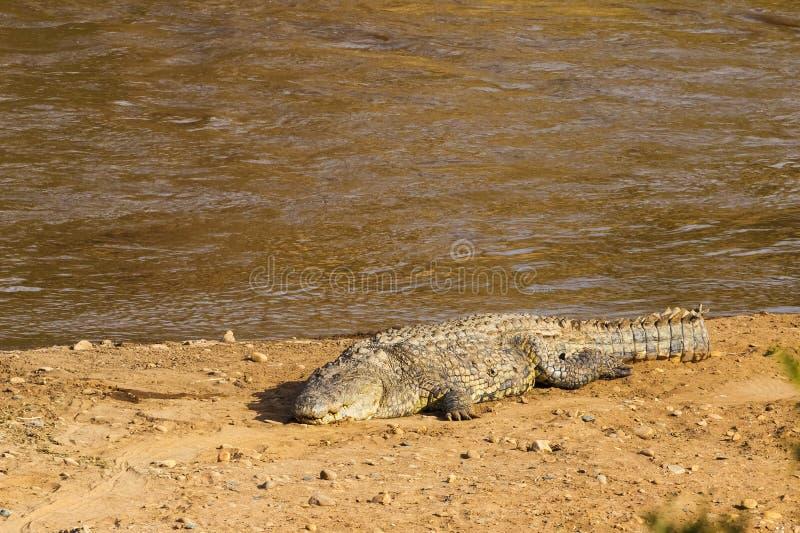 在河岸的一条大鳄鱼 肯尼亚mara马塞语 库存图片