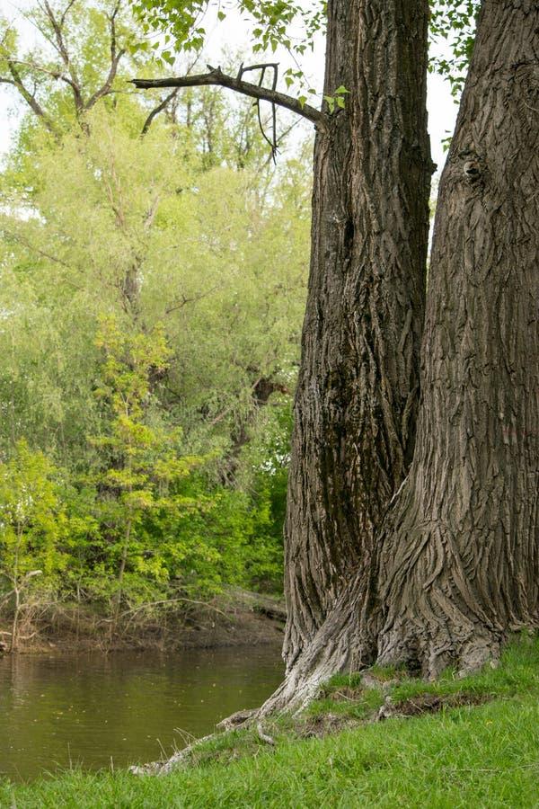 在河岸的一棵大美丽的树 库存图片