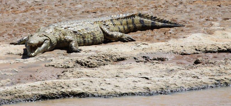 在河岸的尼罗鳄鱼 免版税库存图片