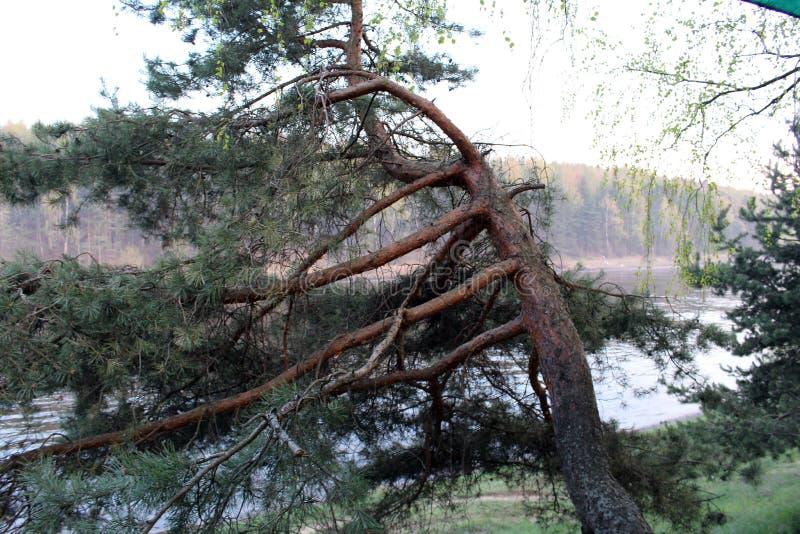 在河岸的杉木 免版税库存照片