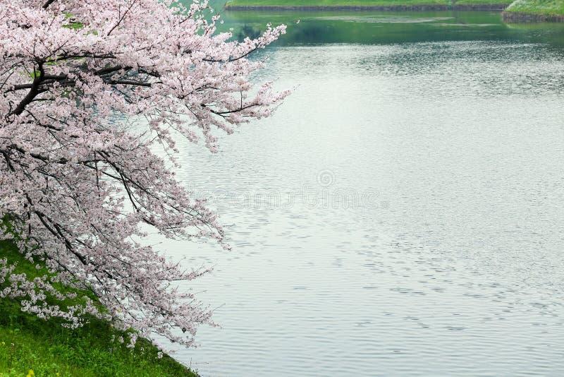在河岸的桃红色佐仓樱花 免版税图库摄影